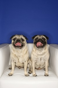 209800-two-pug-dogs